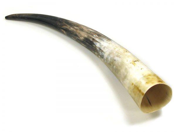 polished oxhorn